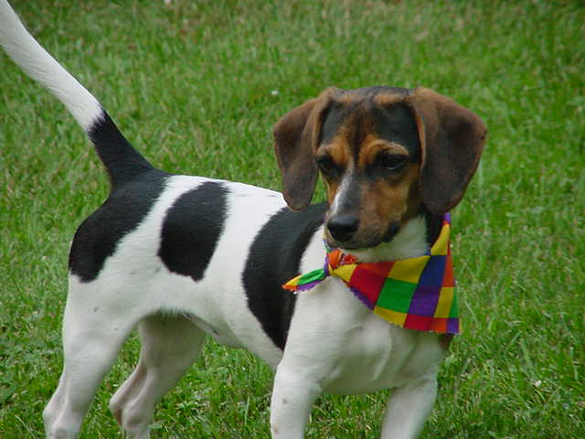Personalities Of Beagle Dachshund Mix | Dog Breeds Picture